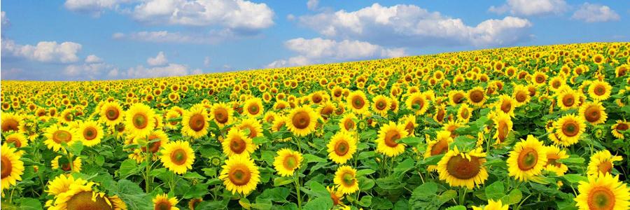 Właściwości słonecznika